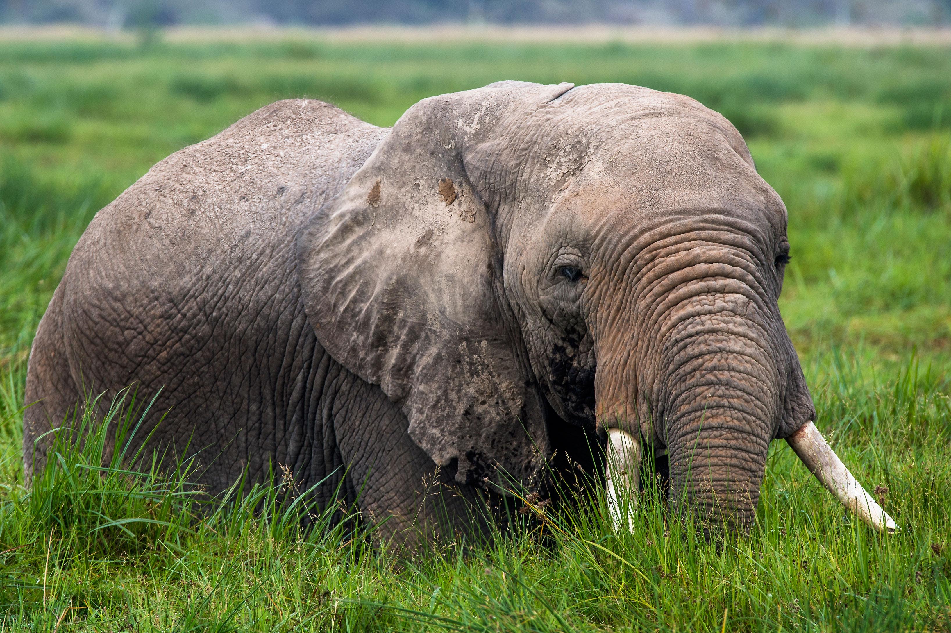 40x60 leinwand afrikanischer elefant. Black Bedroom Furniture Sets. Home Design Ideas